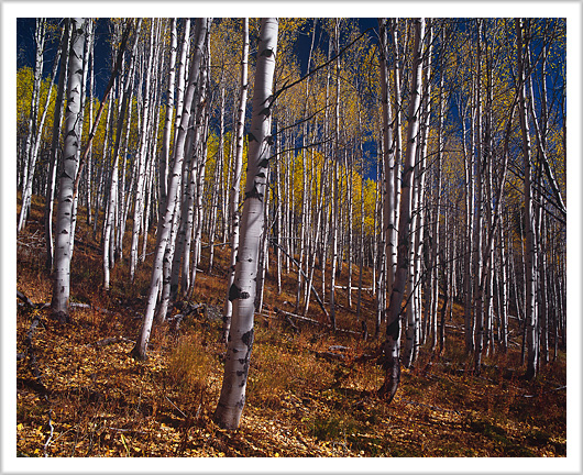 Aspen Grove of Fishhook Creek